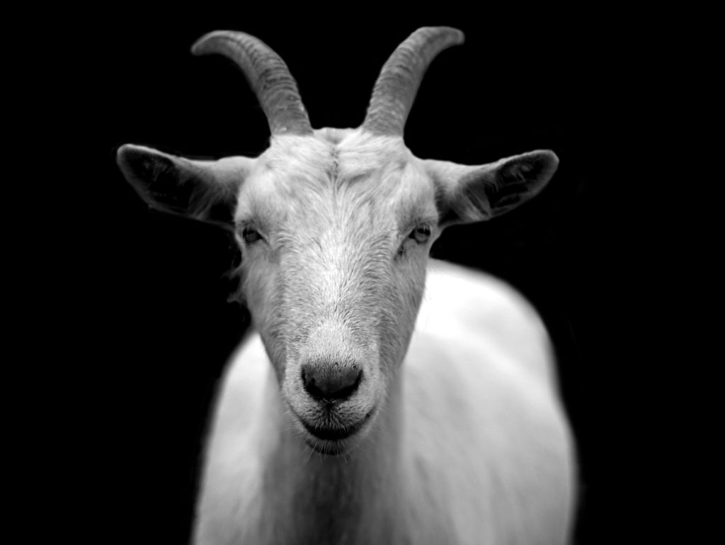 How Many Stomachs Does A Goat Have